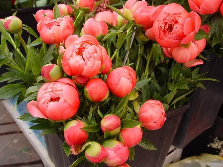 Многоцветковые красавицы — полиантовые розы. фото, инструкция по выращиванию из семян, советы по уходу