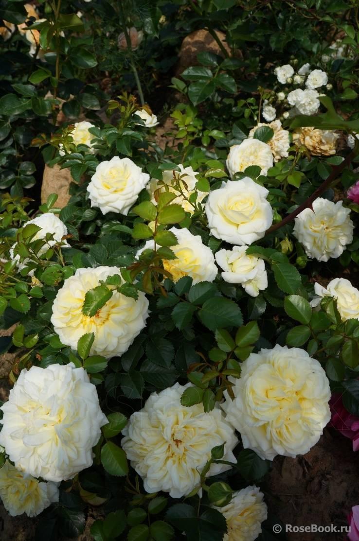 Описание белой почвопокровной розы-шраба сорта бланк мейяндекор или мейдиланд