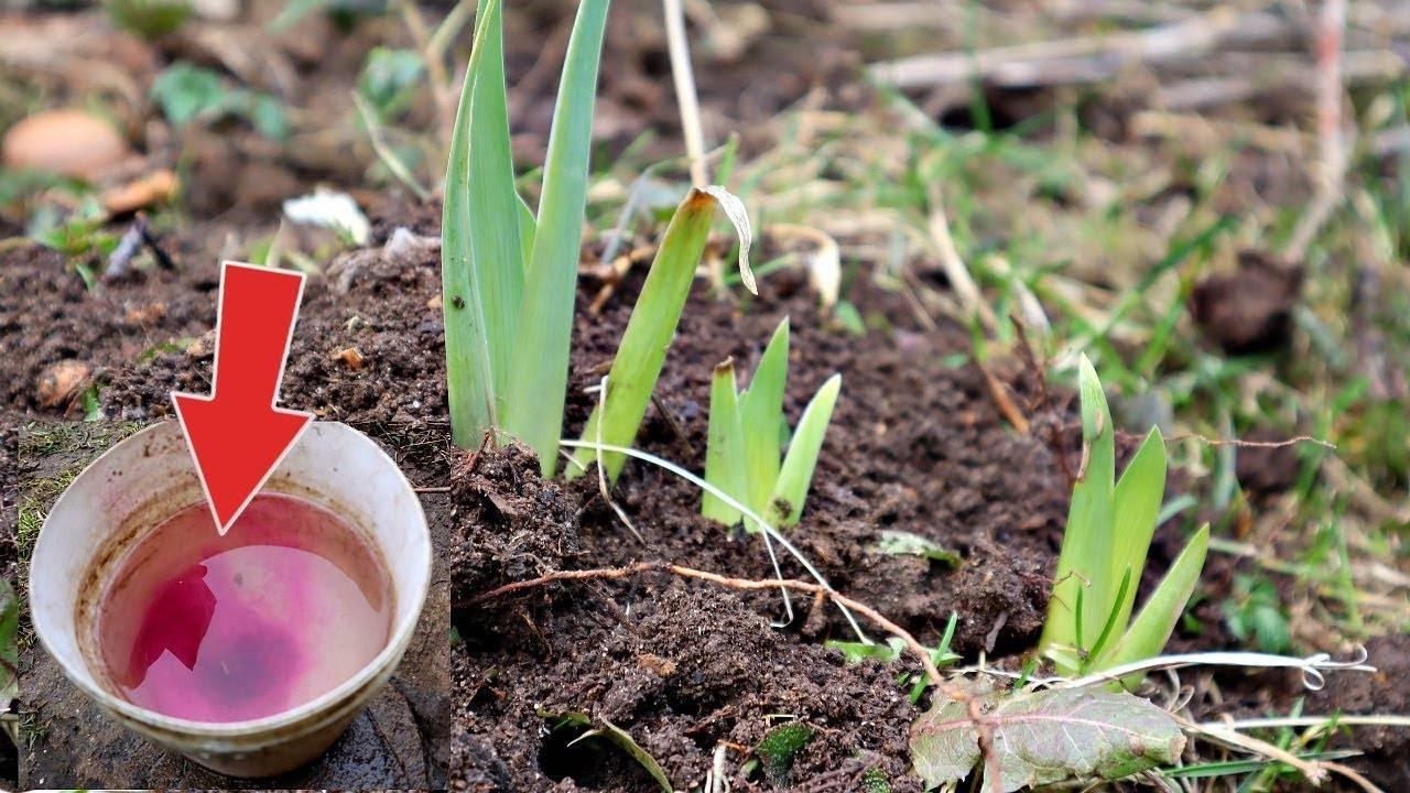 Чем и как подкормить лилии перед цветением? правила подкормки в июне и весной. как удобрять золой?