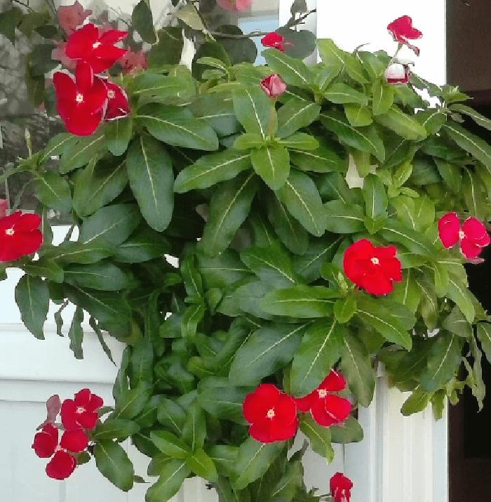 Катарантус: пацифика, кора каскад, пич бланш, саншторм, дип лилак, виктори, казанова, медитерраниан, джемс энд джеллис, vinca cora burgundy, вид catharanthus roseus