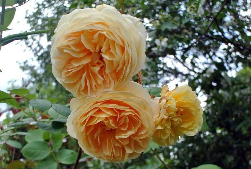 Роза абрахам дерби: описание сорта и 9 этапов посадки
