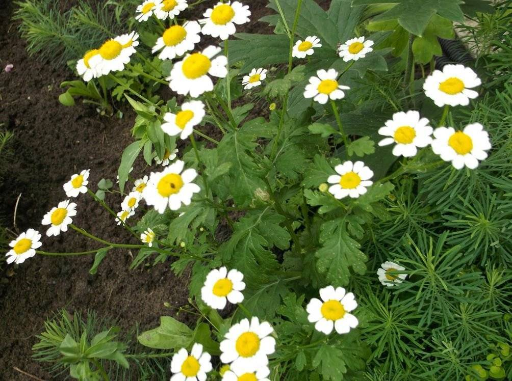 Пиретрум: фото цветов, посадка и уход в открытом грунте