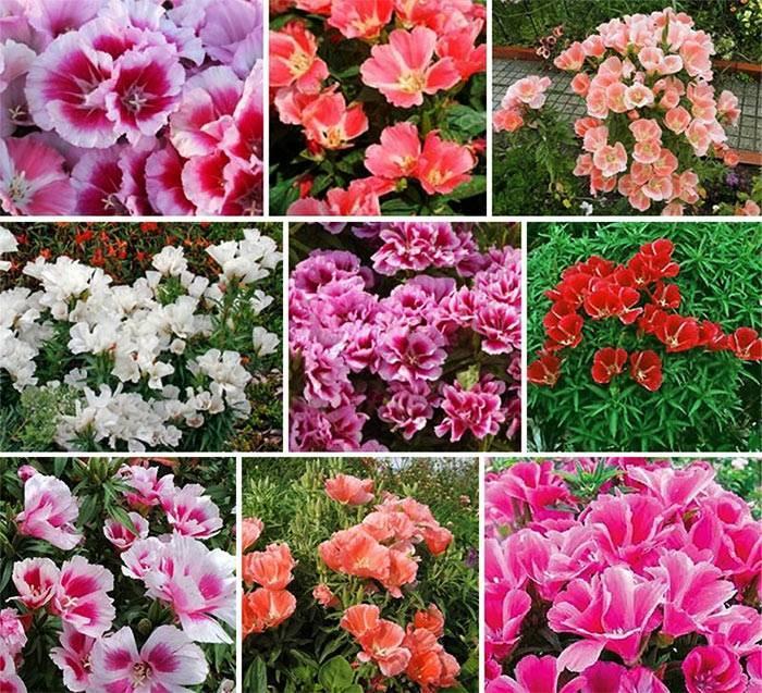 Годеция – цветок страсти — особенности выращивания и уход