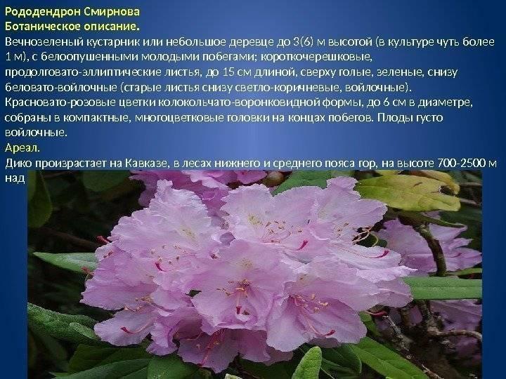 Рододендрон катевбинский грандифлорум