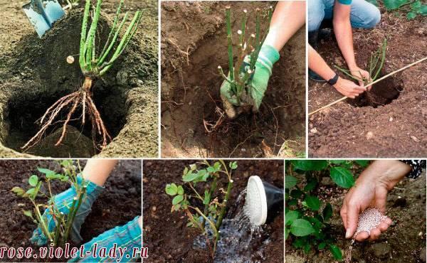 Посадка роз в открытый грунт летом в июне и июле, можно ли, как правильно сажать