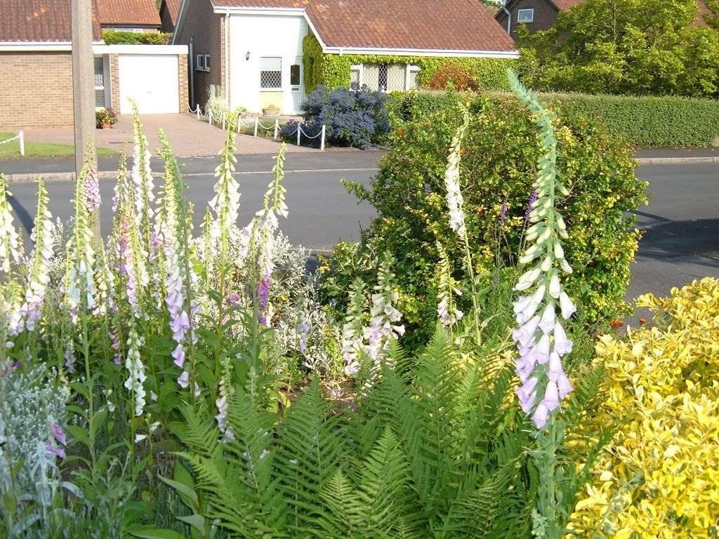 Наперстянка многолетняя: выращивание из семян, виды и сорта с фото, посадка и уход в открытом грунте
