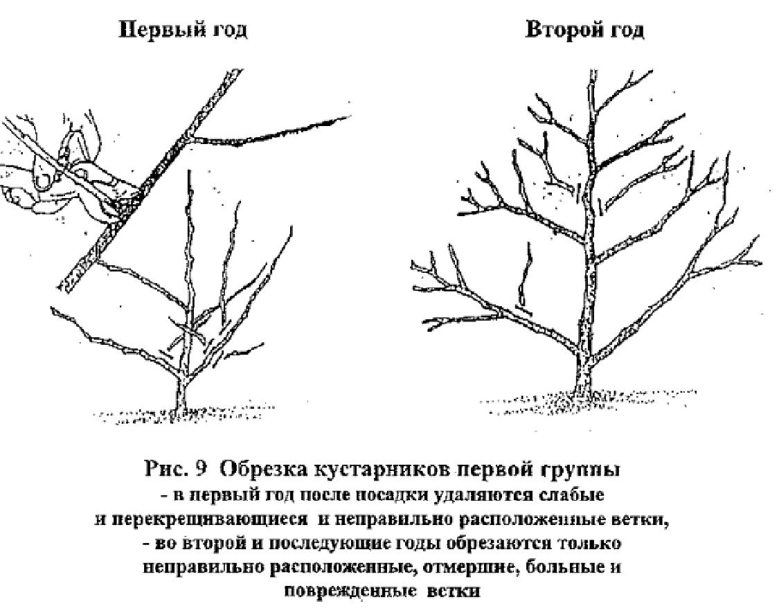 Дейция: посадка и уход в открытом грунте