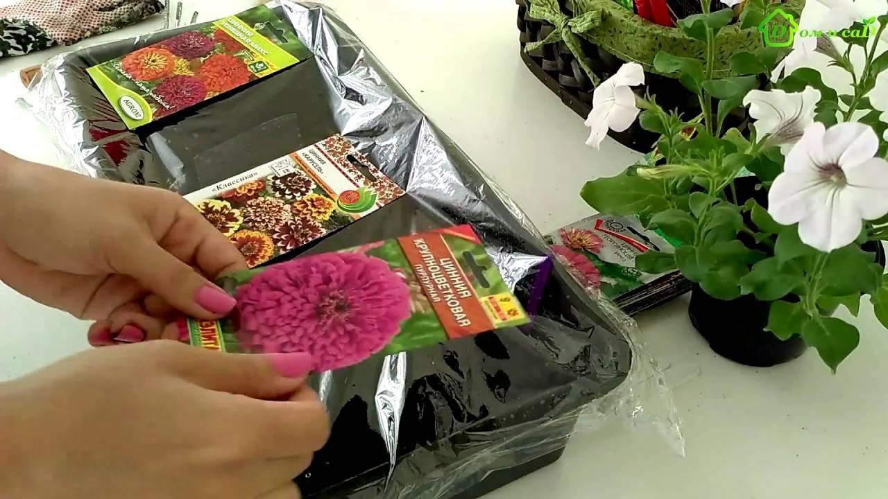 Циния: сорта с фото и описанием, когда сеять на рассаду, посадка и уход в открытом грунте