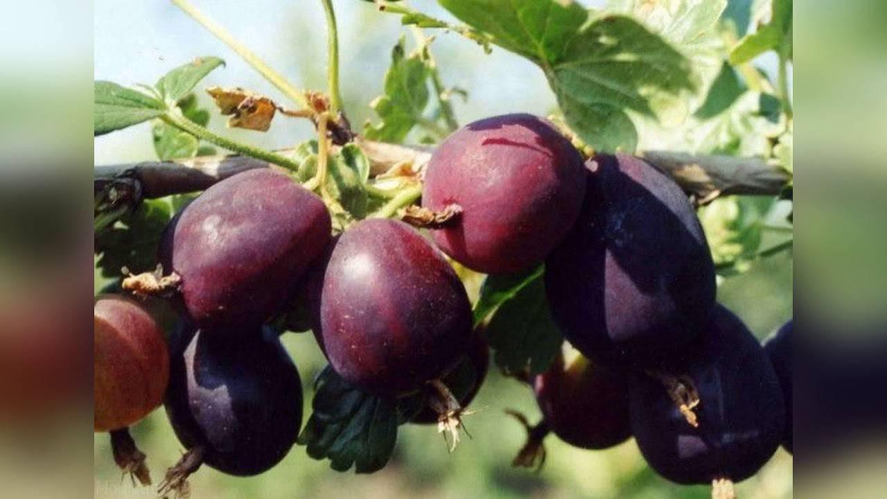 Все о ягодах черных крыжовников: описание сортов черный негус и черный принц