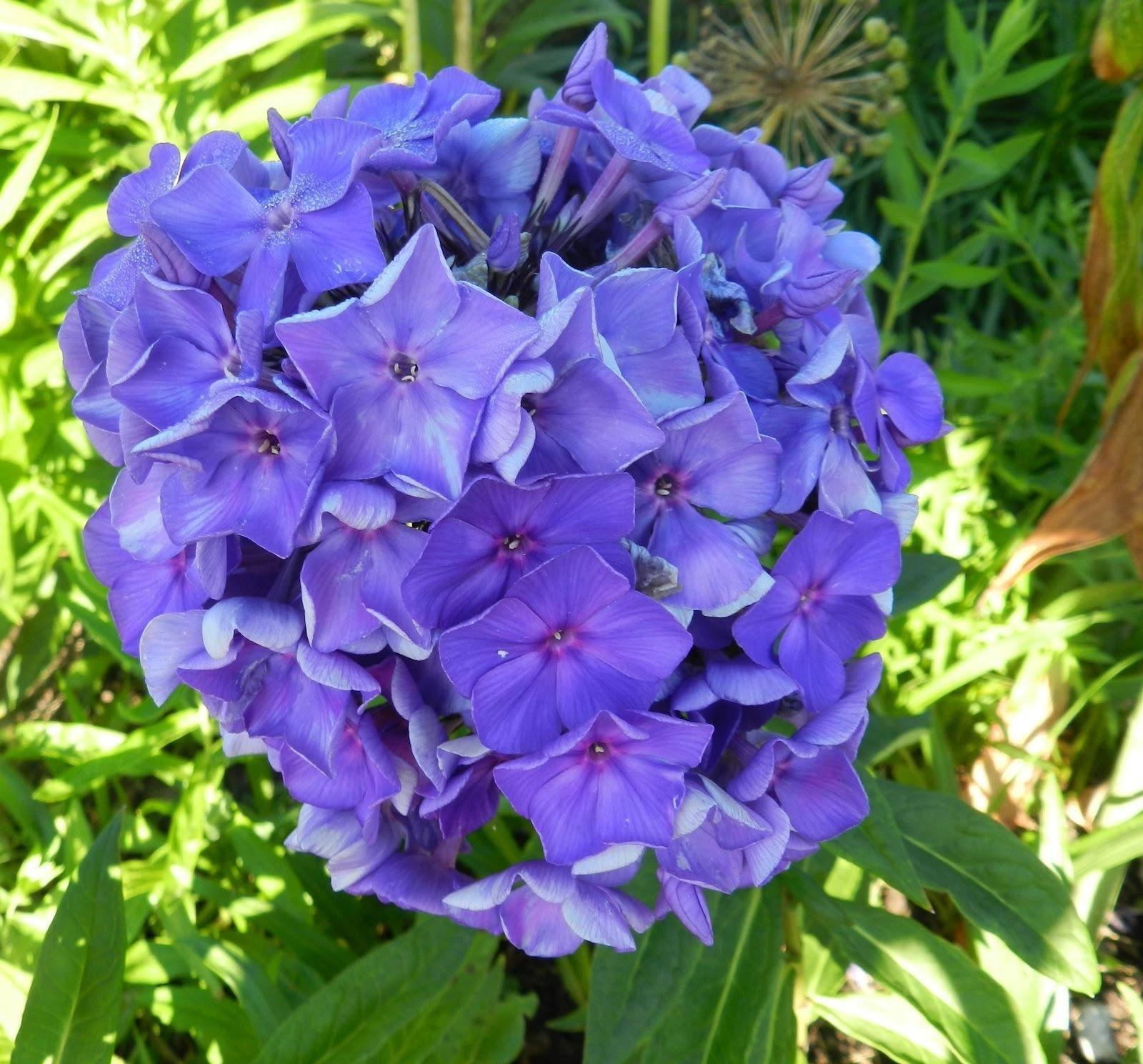 Синие и голубые флоксы (42 фото): «блю бой» и «мэджик блю», «голубая отрада» и «неон флер блю», «юник олд блю» и другие сорта