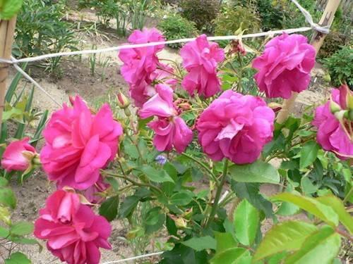 Канадские розы: описание сортов и тонкости посадки