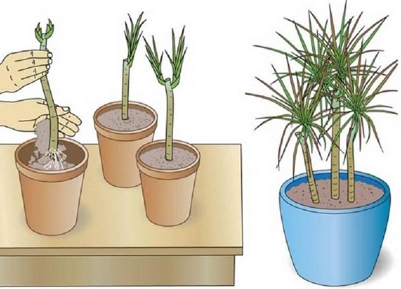 Молочай – как проводить пересадку, размножение и как избавиться от растения?