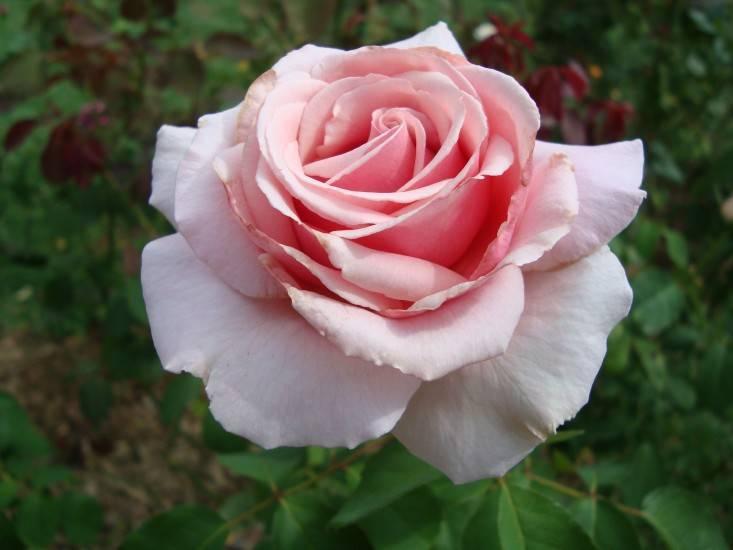 Чайно-гибридная роза дезире (desiree) - описание, агротехника, советы | о розе