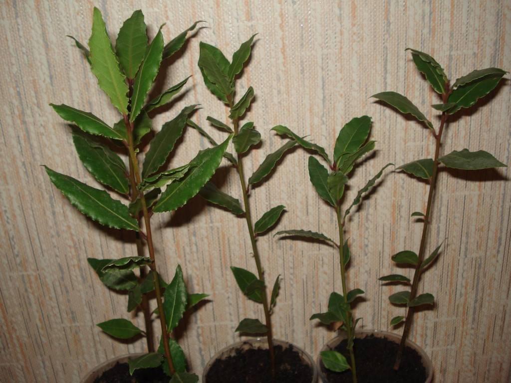 Пробуем вырастить лавровое дерево у себя на подоконнике