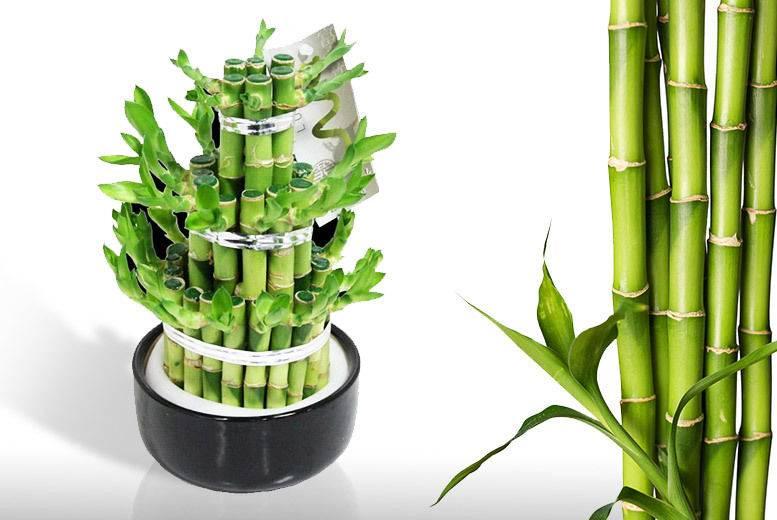 Как ухаживать за комнатным бамбуком: обзор низкорослых, миниатюрных видов