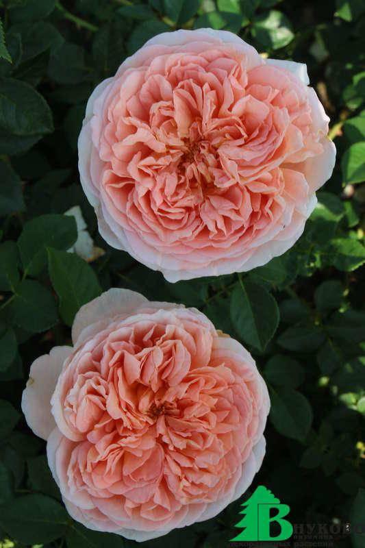 Роза хеллоу (hello) — описание шраба из серии «farniente»