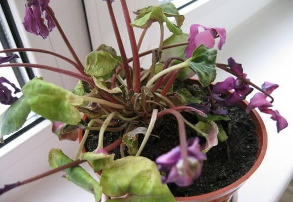 Как не допустить гибель цветка и оживить розу в домашних условиях? руководство по срочной реанимации