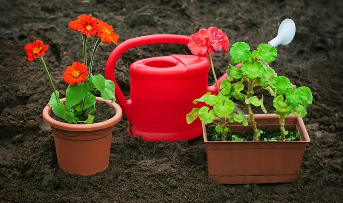 Бегония ампельная из семян: выращивание