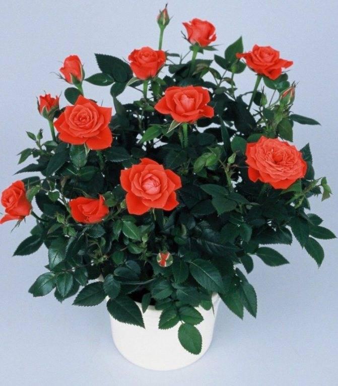 Роза кардана - комнатные розы: выращивание, уход, размножение