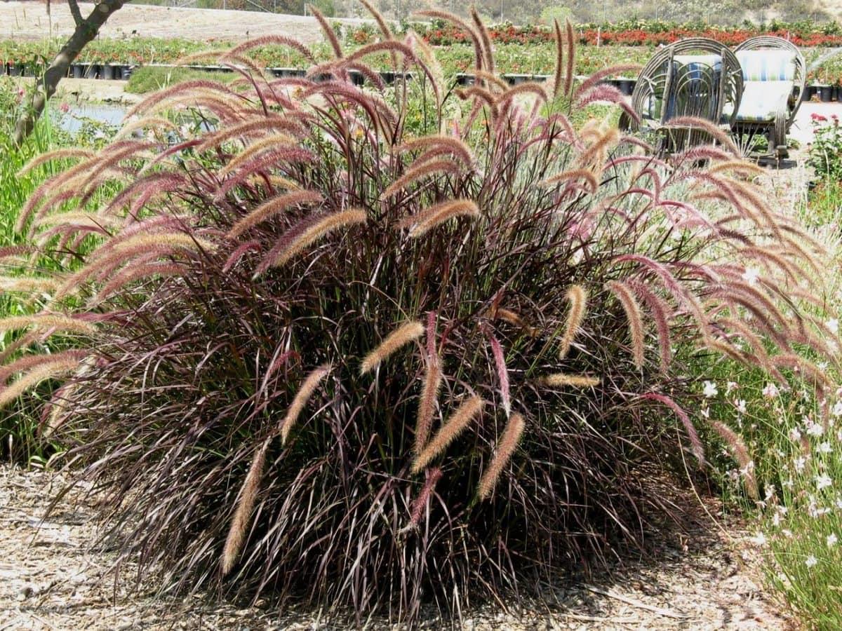 Пеннисетум посадка и уход выращивание из семян пеннисетум лисохвостный щетинистый пурпурный восточный сорта с фото