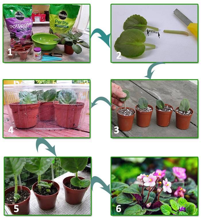 Как размножать фиалку в домашних условиях: укоренение листочка, посадка пошагово