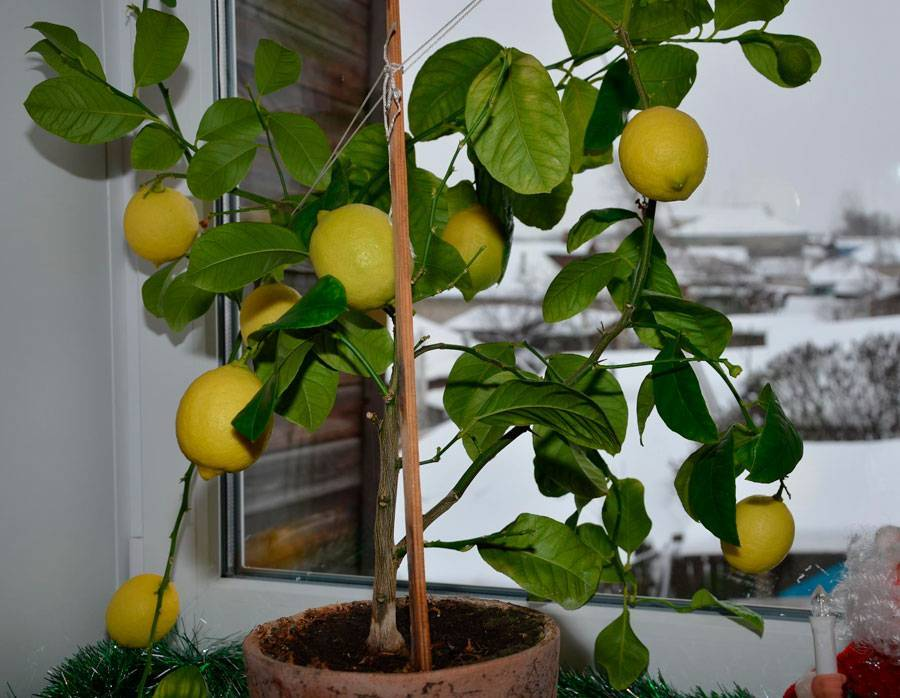 Домашний мандарин: уход в домашних условиях из косточки, условия выращивания