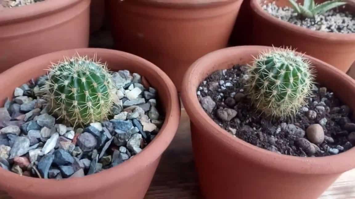 Частота и правильность полива кактуса: примеры дома, варианты летом и весной