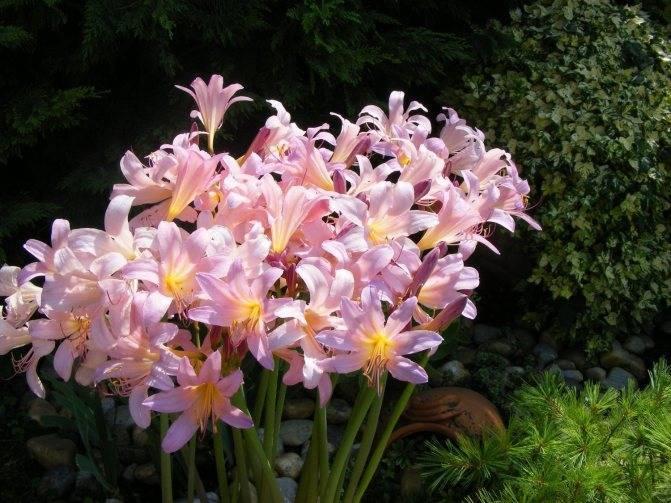 Ликорис — значение цветка, уход и выращивание