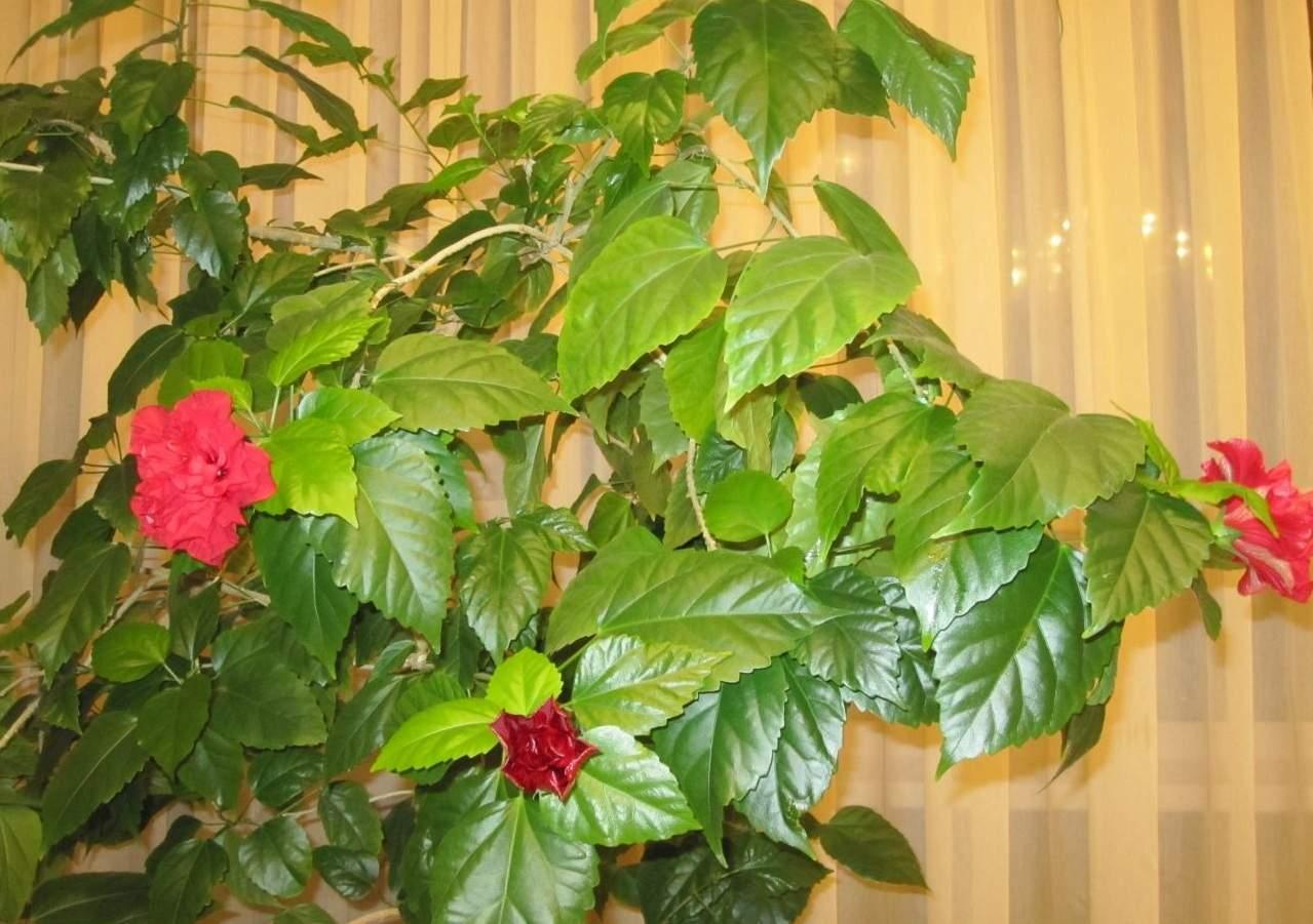 Обзор комнатных и садовых цветов, которые похожи на розы