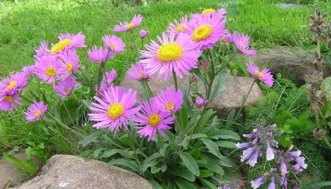 Как называются цветы, похожие на ромашки