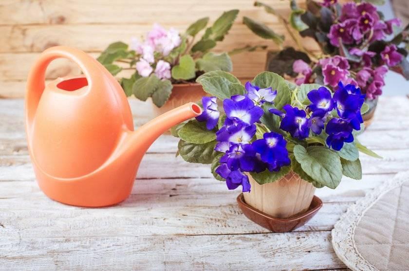 Почему не цветут фиалки? как ухаживать, чтобы цвели