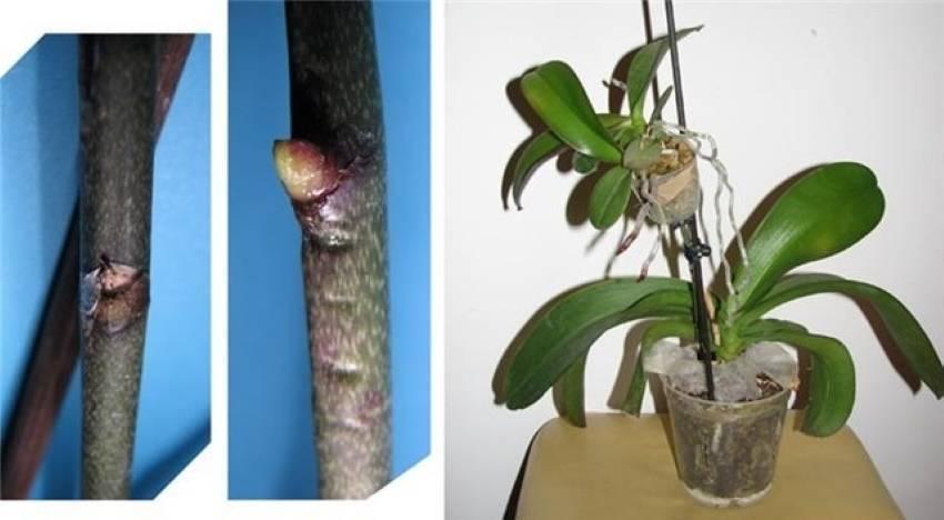 Как правильно и безболезненно обрезать орхидею в домашних условиях?