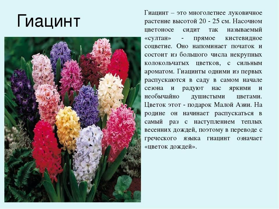 Особенности ухода за комнатными луковичными цветами. фото различных видов этих растений.