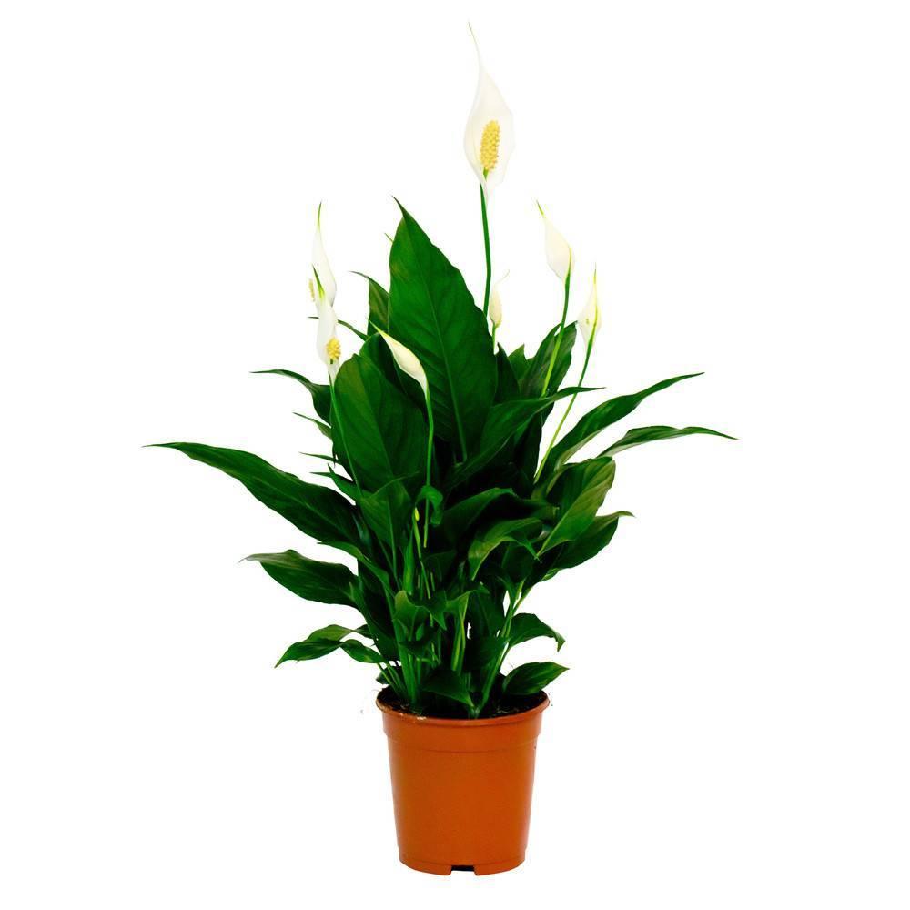 Виды, сорта и родина комнатного растения спатифиллум