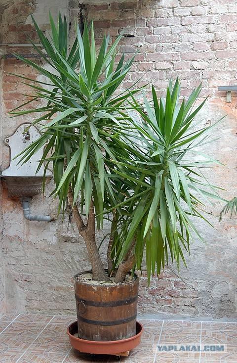 Уход за пальмой юкка в домашних условиях: посадка и размножение
