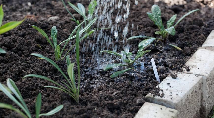 Иберис зонтичный: разновидности и выращивание