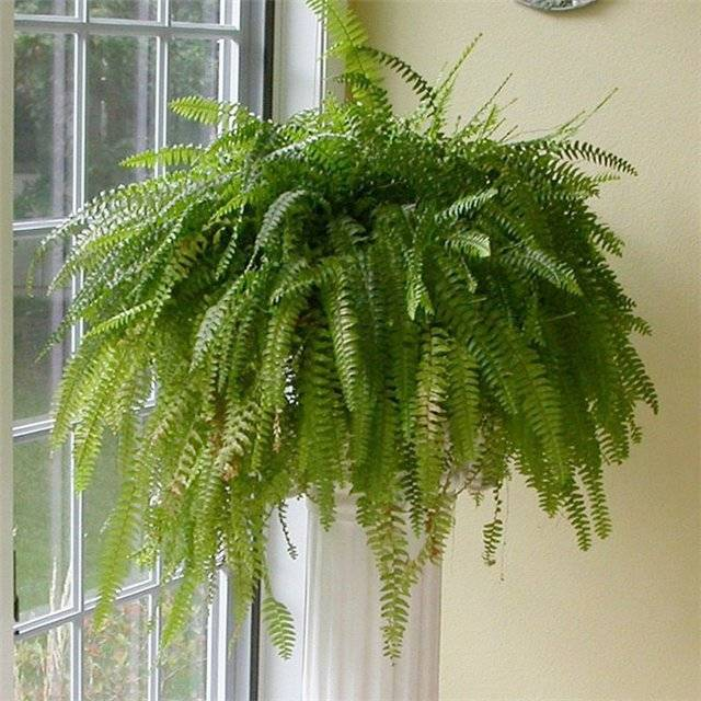Комнатный кудрявый папоротник: фото с описанием, уход, выращивание