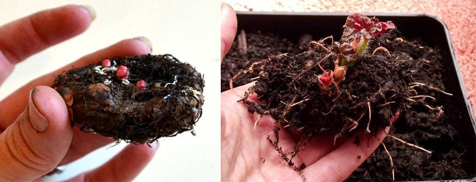Клубневая бегония от проращивания клубня до начала цветения