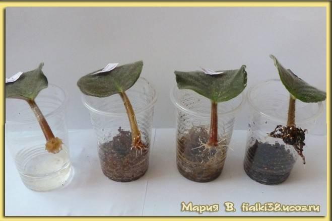 Антуриум (63 фото): уход за цветком «мужское счастье» в домашних условиях после покупки, родина комнатного растения антуриум. чем подкормить антуриум зимой?