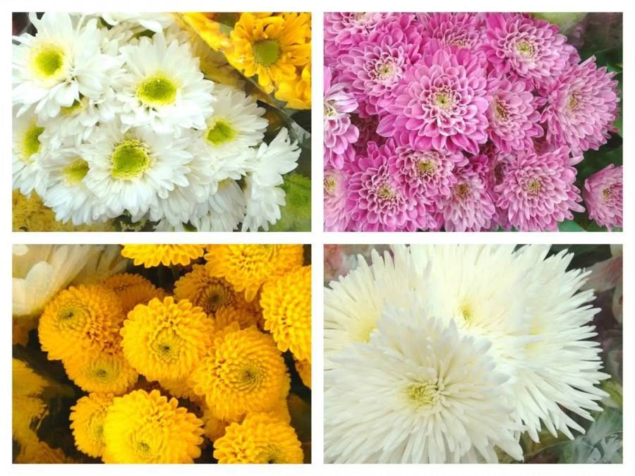 Цветы хризантемы: посадка и сорта