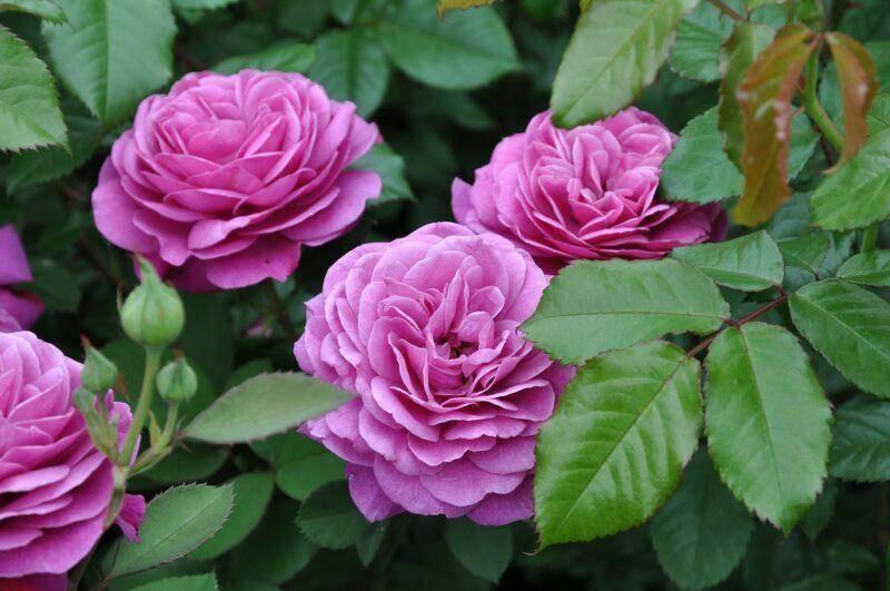 Роза лавендер айс (lavender ice) — характеристики флорибунды