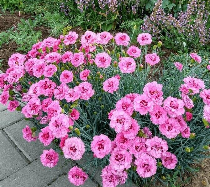 Гвоздика: выращивание, посадка и уход, размножение, фото, описание - читайте на орхис