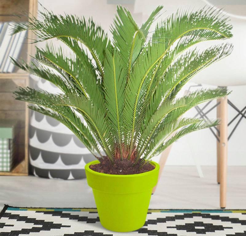 Цикас (саговая пальма)