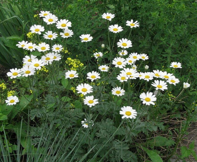 Пиретрум: посадка и уход, выращивание из семян