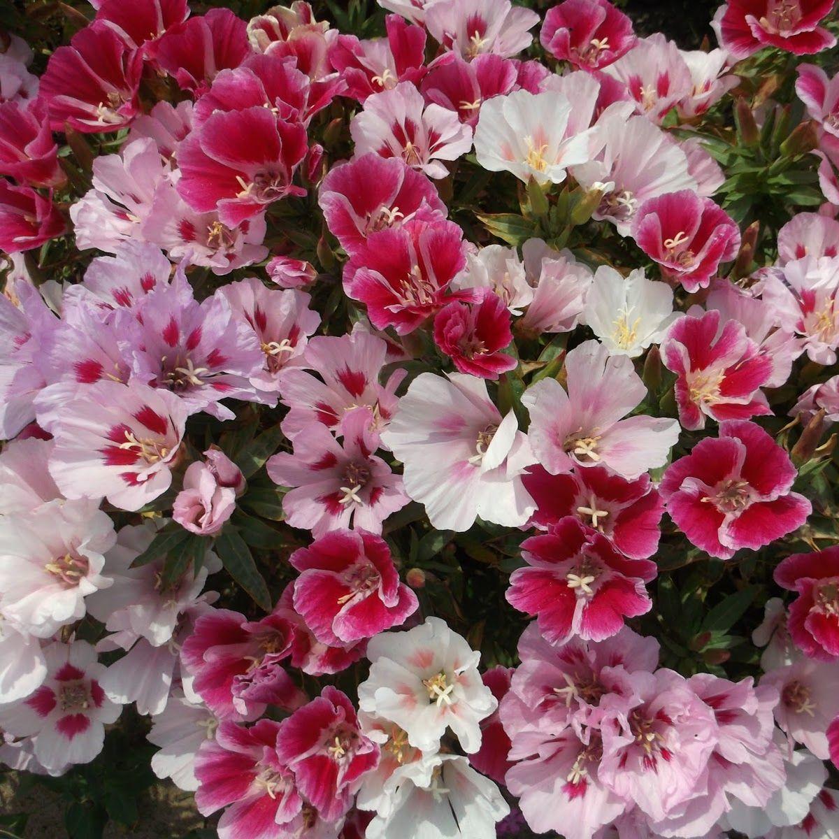 Как сажать и выращивать цветок крупноцветковую годецию из семян