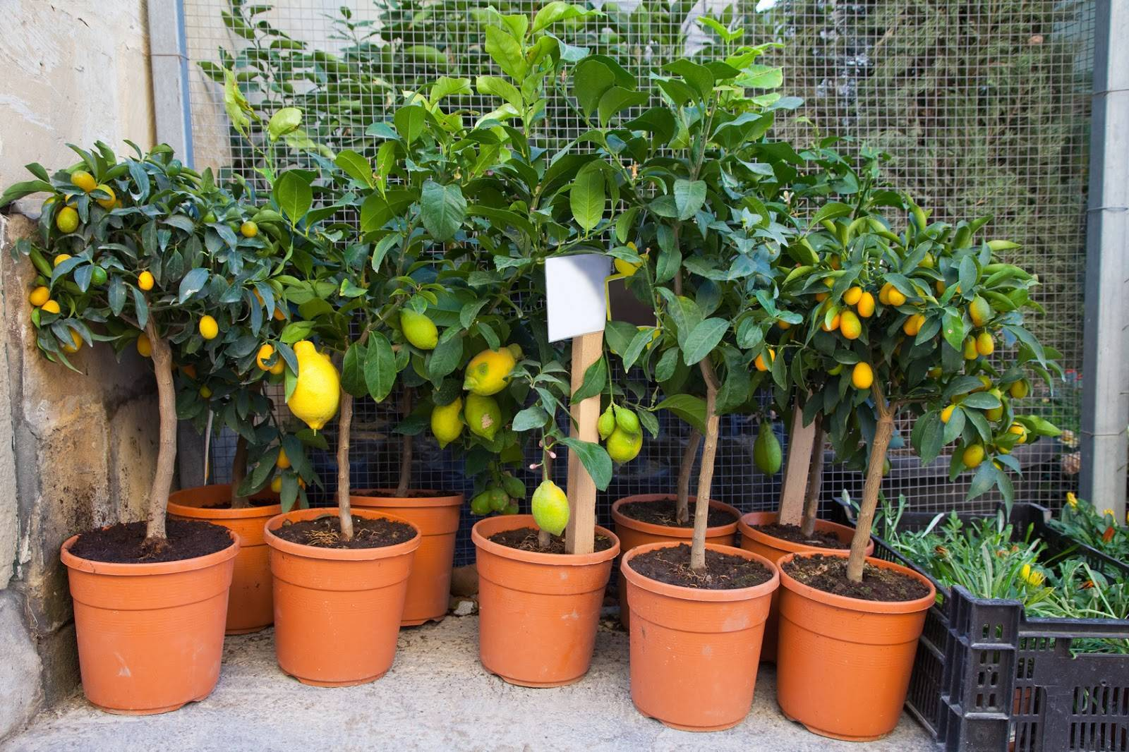 Кипарис в горшке — как ухаживать в домашних условиях