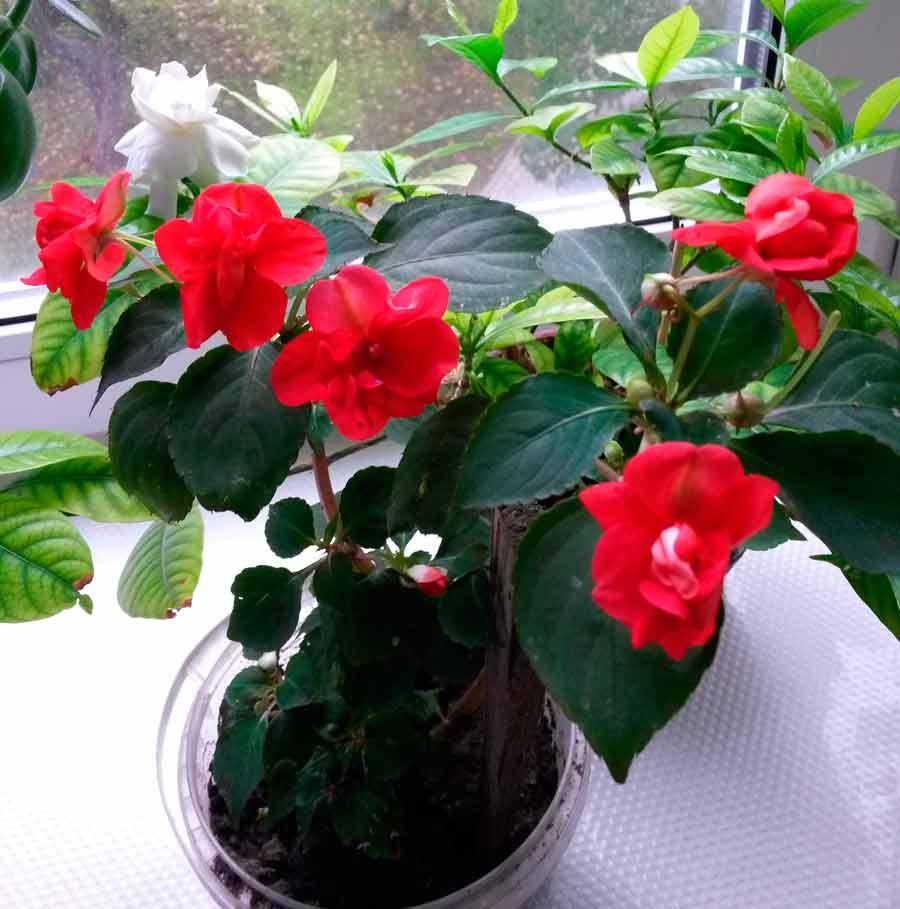 Комнатный цветок бальзамин или огонек: описание видов с названиями