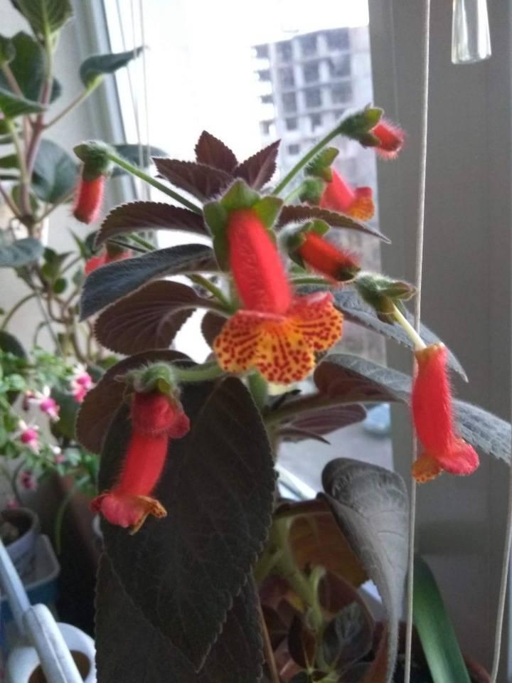Уход за цветком «колерия» в домашних условиях: фото