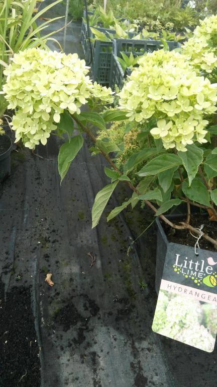 Сорт метельчатой гортензии – лаймлайт