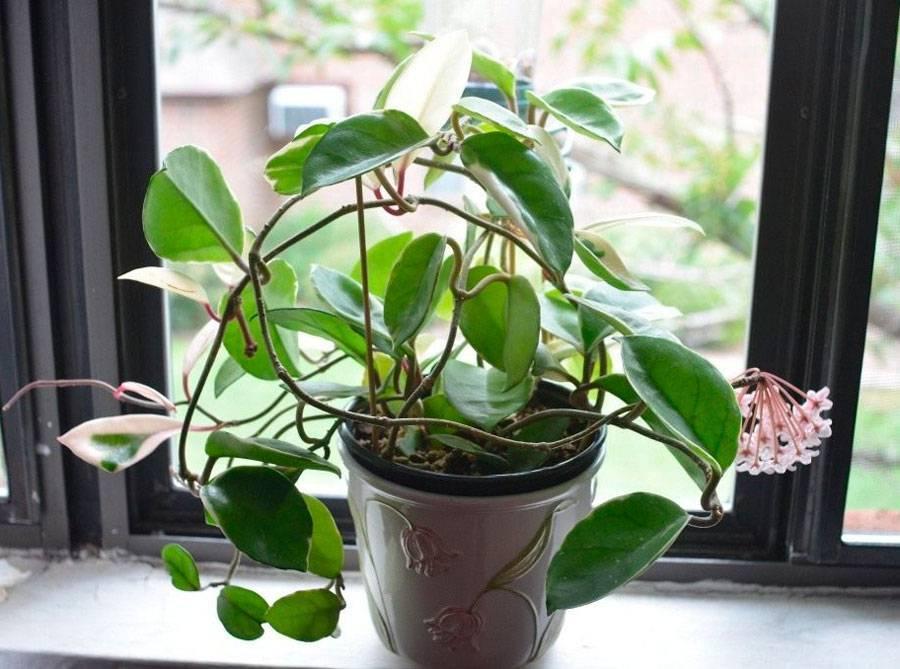 Почему не цветет хойя или восковой плющ, уход в домашних условиях